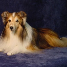 3_21_06_dog_collie